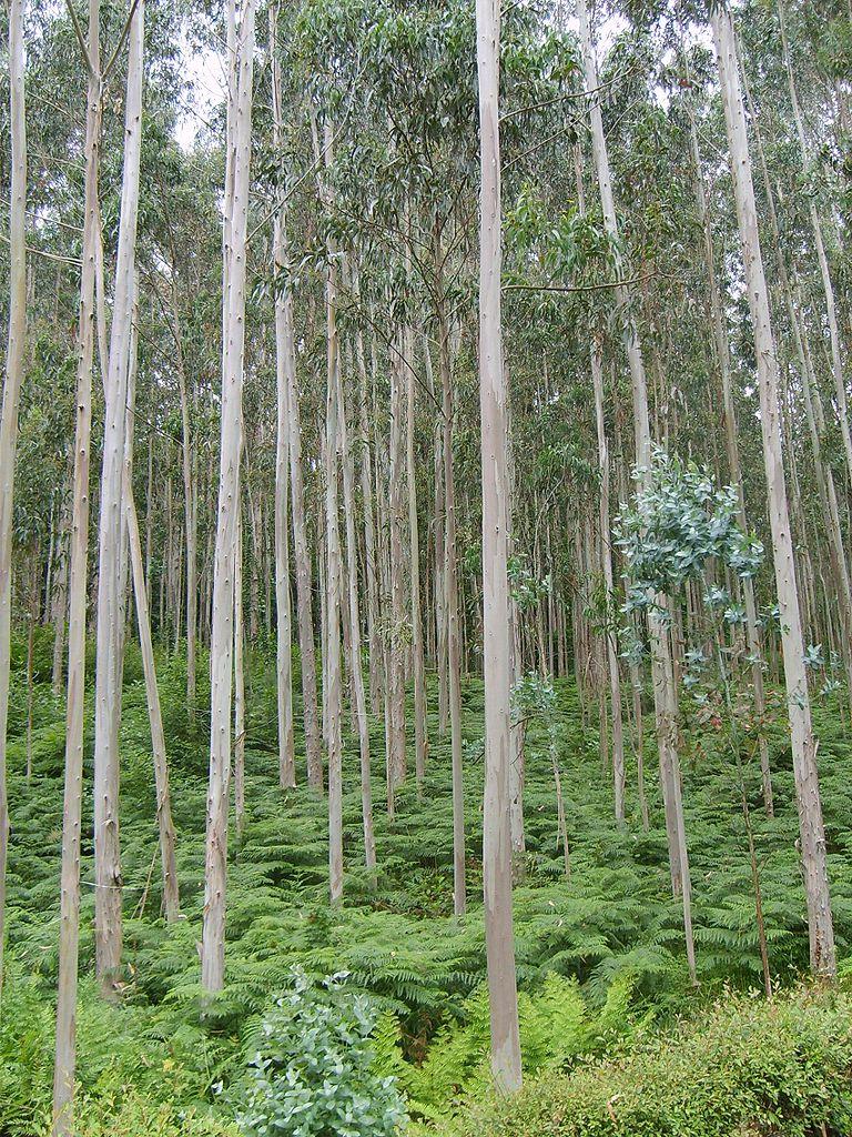 biomasa eucalipto