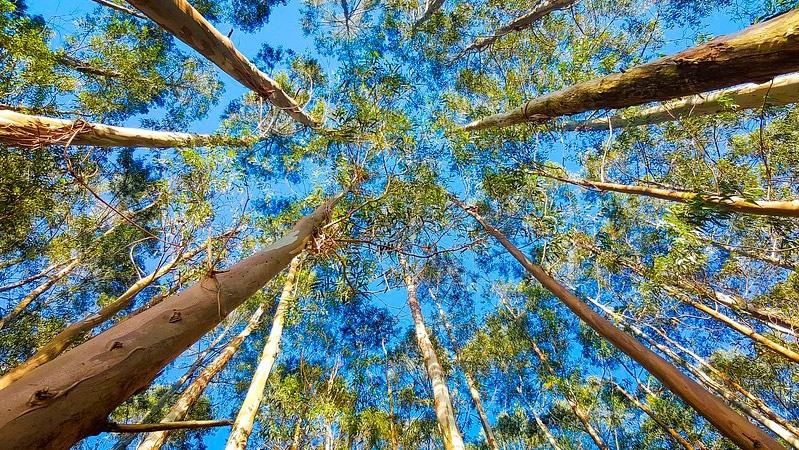 Eucalipto; ¿una buena opción para la generación de energía con biomasa?